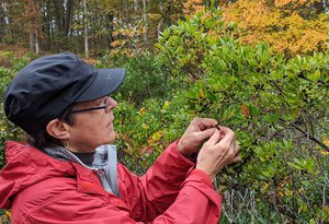 Cayte McDonough collecting seed Ilex glabra