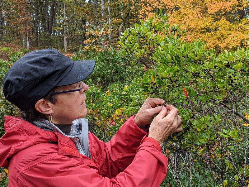 Cayte McDonough collecting seed Ilex glabra