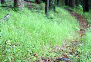 Carex_pensylvanica_D2595_DanJaffe (1).jpg
