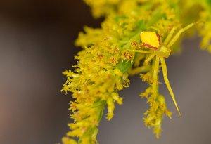 Goldenrod and crab spider- Uli Lorimer