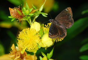 Hypericum_frondosum& Pholisora_catullus_Jaffe_reduced.jpg