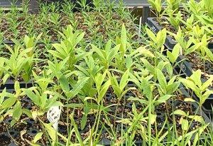 Nasami garden plant seedlings