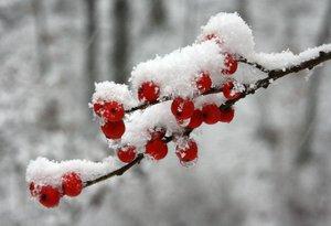 Ilex_vert_snow_Jaffe.jpg