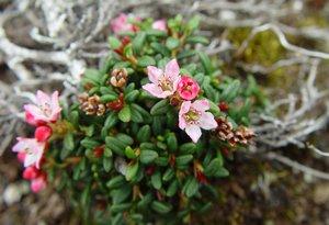 Alpine azalea (Kalmia procumbens), Arthur Haines