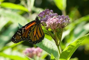 Monarch on Asclepias incarnata