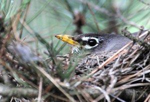 Nesting Robin-George McLean