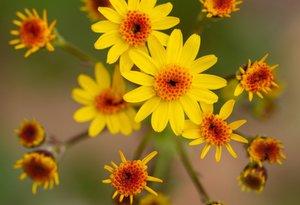 Packera obovata - Uli Lorimer ©Native Plant Trust