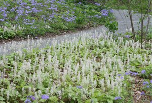 Phlox_divaricata_Tiarella_cordifolia_crop_reszd_Jaffe.jpg