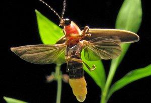 Photinus_pyralis_Firefly_wikimedia_commons+Art_Farmer.jpg