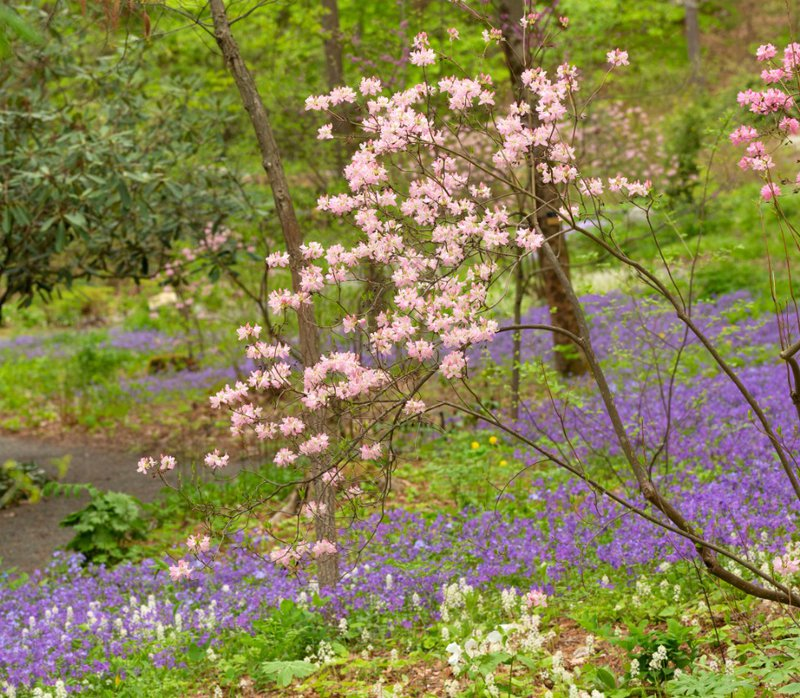 Rhododendron_vaseyi_CurtisWoodland_UliLorimer