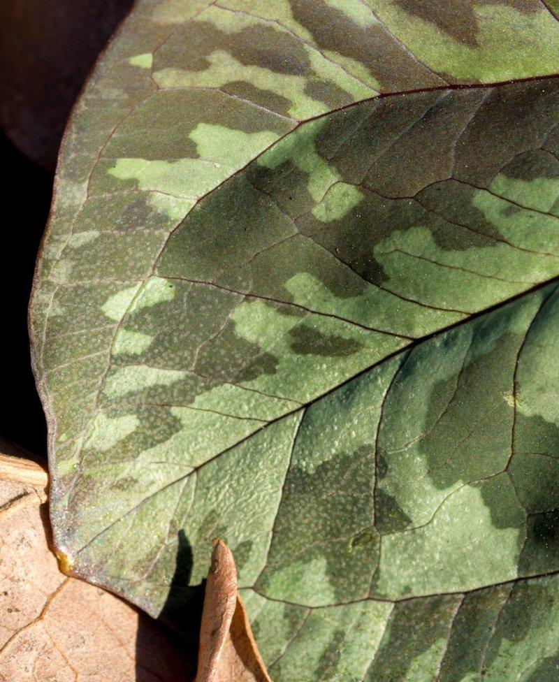 Trillium cuneatum - Uli Lorimer