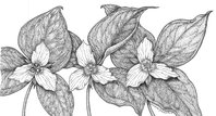 Trillium Society illustration