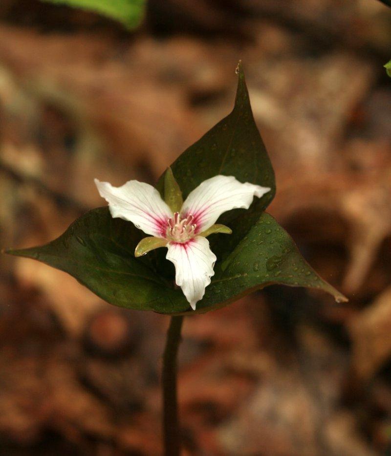 Trillium undulatum - Uli Lorimer