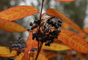 Viburnum nudum fruit - DJaffe