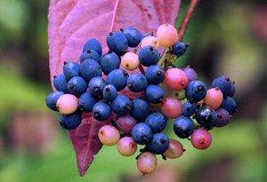 Viburnum nudum fruit reduced