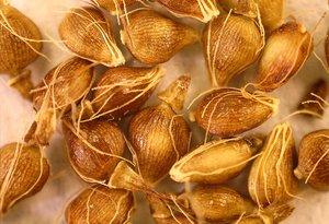 Eleocharis quadrangulata seeds
