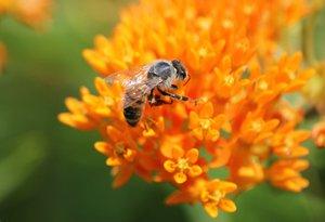 honey-bee_butterfly_milkweed_pixabay.jpg