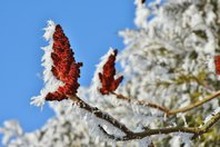 snow-on-sumac_CC0CreativeCommons.jpg
